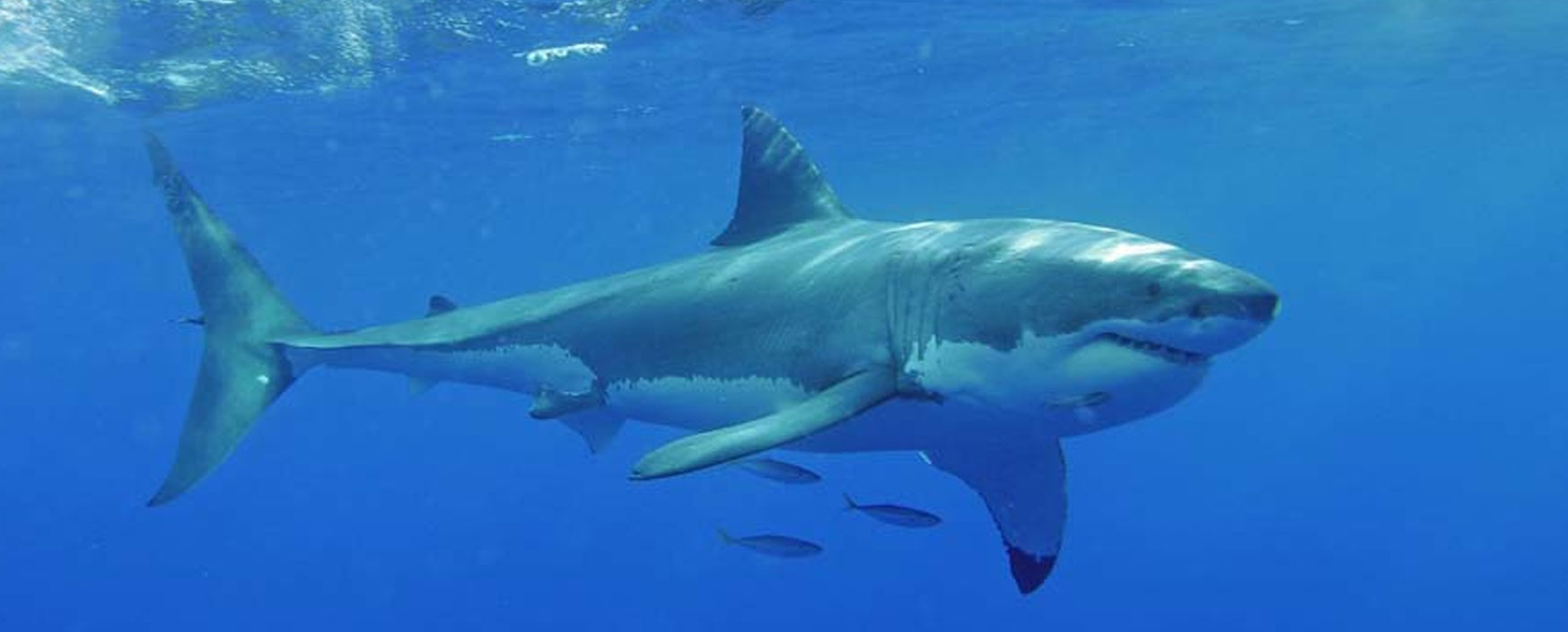 Pictures Of White Sharks 8